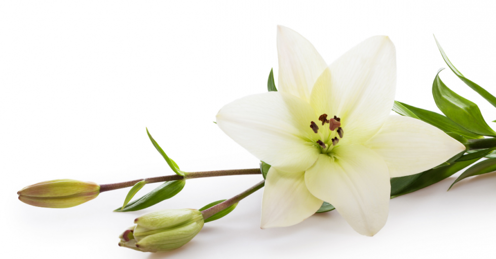 Lilies on white background